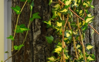 Efeu-Ranken an Baumstamm