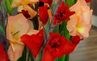 rote und aprikotfarbene Gladiolen