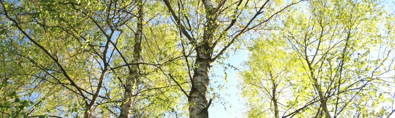 Wald mit Birkenbäumen